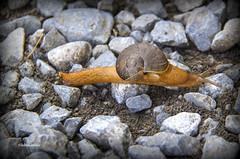 Slow is the new fast (LubnaJavaid) Tags: slug slime slimy shell orange mollusk animal yellow stone mountan mud brown