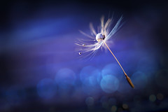 Alone in the way (Marilena Fattore) Tags: dandelion tarassaco macro artistic canon tamron 90mm water drops droplet nature closeup focus floralart reflection bokeh light blue softness garden background macrodreams