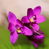 Ground orchid (Spathoglottis plicata) (zgrial) Tags: orchid flower purple macro square florida spathoglottisplicata zgrial
