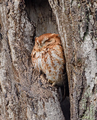 Eastern Screech Owl (snooker2009) Tags: eastern screech owl bird nature wildlife pennsylvania raptor migration