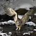 A couple of Blakiston's fish owls (2)