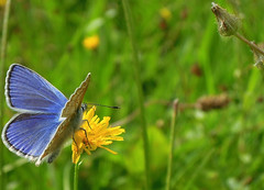 Blue in Context (Andy & Helen :-) :)) Tags: lepidoptera butterfly blue meadow farmersfield staffordshire uk british native wildflowers lycaenidae blues