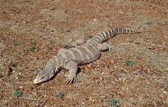 Spencer's Monitor (Varanus spenceri) (shaneblackfnq) Tags: spencers monitor varanus spenceri shaneblack lizard reptile goanna black soil plains barkly tableland nt nothern territory australia outback arid