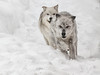 Two Grey Wolves Running (David Jones 2) Tags: grey wolves wolf gray yellowstone monatana usa snow winter dave jones