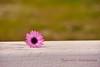 He loves me ... he loves me not ... (Ifigeneia Vasileiadis) Tags: daisy purple macro minimal white bokeh game childhood delicate lilac nikon7200 sigma18250