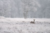 Roedeer in winter (Andre vd Meulen) Tags: roedeer winter white