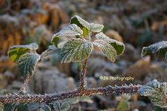 170003t (saltwells) Tags: saltwellsnaturereserve saltwellslnr winter cold frost frosty nettles fauna plants