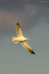 Vuelo de Gaviota al atardecer. (Lagier01) Tags: aves fauna gaviota birds nature naturaleza animal