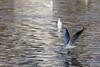 Boire un verre - Have a drink (bboozoo) Tags: nature animal wildlife bird oiseau lake lac canon6d tamron150600 mouette seagull water eau atterrissage landing