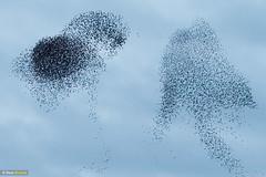Starling shapes (Dom Greves) Tags: behaviour bird dorset flock murmuration pooleharbour starling studland uk
