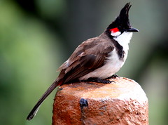 Nithingale (Red Whiskered BulBul) (keedap) Tags: birds robin jay small coonoor india ooty bangalore deepak