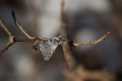 glaçon (bulbocode909) Tags: valais suisse glaçons gel hiver branches nature