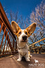 Does this lens make my ears look big? (Haute Dog: couture pet photography) Tags: corgi dallaspetphotographer vitruvianpark dogphotography dogs petphotography dallas tx ocf wideangle funny commercial commercialdogphotographer commercialpetphotographer