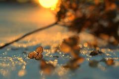 belonging (joy.jordan) Tags: hydrangea leaves snow texture sunset light bokeh winter nature