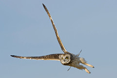 Short eared owl in flight making a sharp turn. (Mel Diotte) Tags: short eared owl wild
