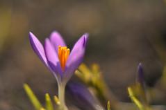 Erster ;-) 1st (nirak68) Tags: lübeck schleswigholsteinkreisfreiehansestadtlübeck deutschland ger 046365 krokus crocus schwertliliengewächs iridaceae blüte blume flower winter 2017ckarinslinsede stadtpark 7dwf nahlinse purple atsh