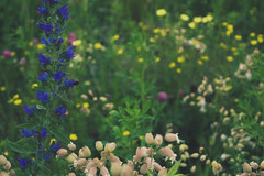 bouquet of weeds (viewsfromthe519) Tags: pink flowers trees white ontario canada green nature yellow weeds purple stthomas saintthomas