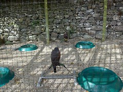 Falconary Ireland010