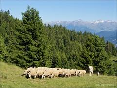 Retour à la bergerie