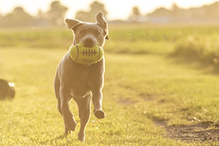 Gegenlicht (alexpauen) Tags: sunset 2 sun canon silver way eos labrador sonnenuntergang rugby mark wiese run hund 7d lou l gras f2 sonne rennen ef weg rasen gegenlicht 135mm silber