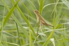 DSC_0512 Kleine Karakiet juv. : Rousserole effarvate : Acrocephalus scirpaceus : Teich-Rohrsanger : Reed Warbler