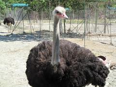 Ostrich Farm Park, Rhodes (pefkosmad) Tags: park vacation holiday male bird leather skin feathers hellas meat ostrich greece eggs greekislands griechenland rodos rhodes dodecanese ostrichfarm rhodes2015