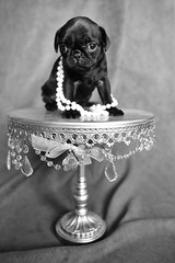 z-IMG_1283 (SpringTrippReilly-Life's Elements Photography) Tags: dog dogs puppies pug lifeselementsphotography springreilly wwwspringreillycom