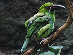 Green Bird on Branch (bobrizz1) Tags: bronxzoo autofocus platinumheartaward vividstriking allnaturesparadise magicmomentsinyourlifelevel2 magicmomentsinyourlifelevel1 magicmomentsinyourlifelevel3