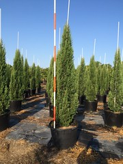 30g Italian Cypress 8/5/15