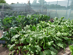 Lower Lovetts Farm organic kitchen garden (12) (karenblakeman) Tags: uk food vegetables reading july berkshire knowlhill 2015 organickitchengarden readingfoodgrowingnetwork rfgn lowerlovettsfarm