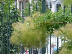 Frilly flowered bush (seikinsou) Tags: park brussels summer flower garden bush belgium belgique bruxelles frill