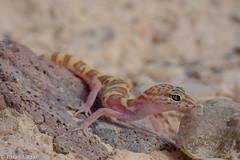 western banded gecko 07-19-2015 (Brian Eagar Nature Photography) Tags: macro fuji nevada lizard lakemead bandedgecko westernbandedgecko coleonyx veriegatus fujixt1 fujixf60 coleonyxveriegatus