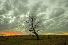 Her Majesty, 1 of 3 (thefisch1) Tags: tree cottonwood prairie plains sky cloud limb crooked horizon sunset bent tangle gnarled kansas flint hills