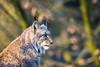 Pinselohr (Fotos aus OWL) Tags: bielefeld olderdissen tierpark luchs