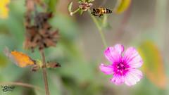 Flowers and bees (Street Parrot) Tags: spring color nature macro floral closeup plant green insect pink garden purple bee bug çiçek pentax k10d böcek flower arı