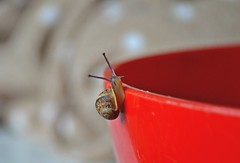 The best view comes after the hardest climb (Maria Godfrida) Tags: animals fauna snail small red closeup climb edge 7dwf