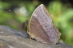 / Discophora sondaica tulliana (Stichel, 1905) (Sam's Photography Life) Tags:     canon nature butterfly green