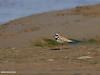 Little Ringed Plover (Charadrius dubius) (gilgit2) Tags: avifauna birds canon canoneos7dmarkii category fauna feathers geotagged headmarala imranshah littleringedplovercharadriusdubius location pakistan punjab species tags tamron tamronsp150600mmf563divcusd wildlife wings gilgit2 charadriusdubius