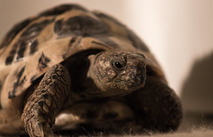 Fernando the Tortoise (phoebe.horner) Tags: tortoise animal animals reptile reptiles portrait indoor indoors pet pets fernando house exotic canon 700d amateur photography photo camera picture pictures old age aged tortuga