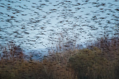 Starlings take flight (whitelockrachel) Tags: starlings flock birds landscape art nature picturely somerset hamwall levels abstract impressionism canon canon7dmarkii
