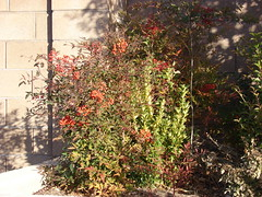 starr-071222-0342-Nandina_domestica-fruiting_habit_in_yard-Blue_Diamond_Rd-Nevada (Starr Environmental) Tags: nandinadomestica