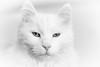 Djinn (Thoran Pictures, Thx for more then 4 million views) Tags: smcpentaxf50mm114 k1 pentaxk1 madebythoranpictures pentax pet white cat blanco animal wil pussycat wit huisdier