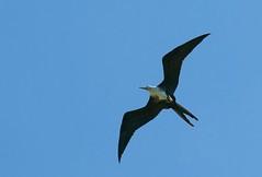 Dominica shorebird (no, not a pterodactyl)