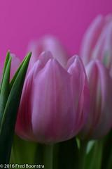 "Last close-up of 2016 !  ""Real Dutch Pink Tulips"" (A.J. Boonstra) Tags: tulips pink pinktulips ef100mmf28lmacroisusm canon canon70d canoneos falconeyesskk2150d westcottsilverumbrella jinbeiwhiteumbrella indoor closeup"