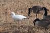 Ross's Goose (J.B. Churchill) Tags: birds deepcreeklake garrett maryland places rogo rosssgoose taxonomy waterfowl mchenry unitedstates us