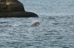 IMG_5783 (monika.carrie) Tags: monikacarrie wildlife scotland aberdeen dolphins dolphin cetacean mammal