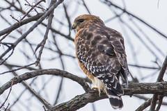 Red shouldered hawk (mayekarulhas) Tags: canon500 canon philadelphia john heinz wildlife wild raptors redshouldered hawk bird