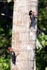 Dryocopus lineatus (Lineated Woodpecker) (Kenny Wray) Tags: nature wildlife bird lineated woodpecker aves piciformes picidae dryocopus lineatus dryocopuslineatus lineatedwoodpecker kenny wray kennywray birding projectamazonas mtamazonexpeditions santacruzforestreserve loreto peru