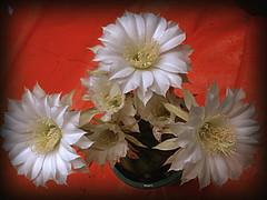 Las  unas y las otras... (Expl. 28.12.16) (mnovela2293) Tags: echinopsis subdenudata cactáceaendémica bolivia paraguay argentina flores blancas perfumadasfragantes nocturnas insectos polinización