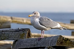 Glaucus-winged Gull (David Badke) Tags: oakbay bc bird
